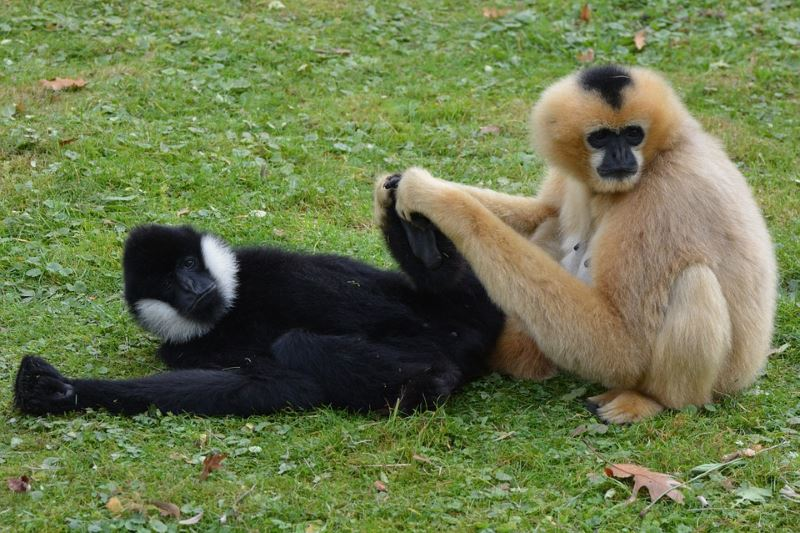 Laos-Gibbon-Experience-Gibbons