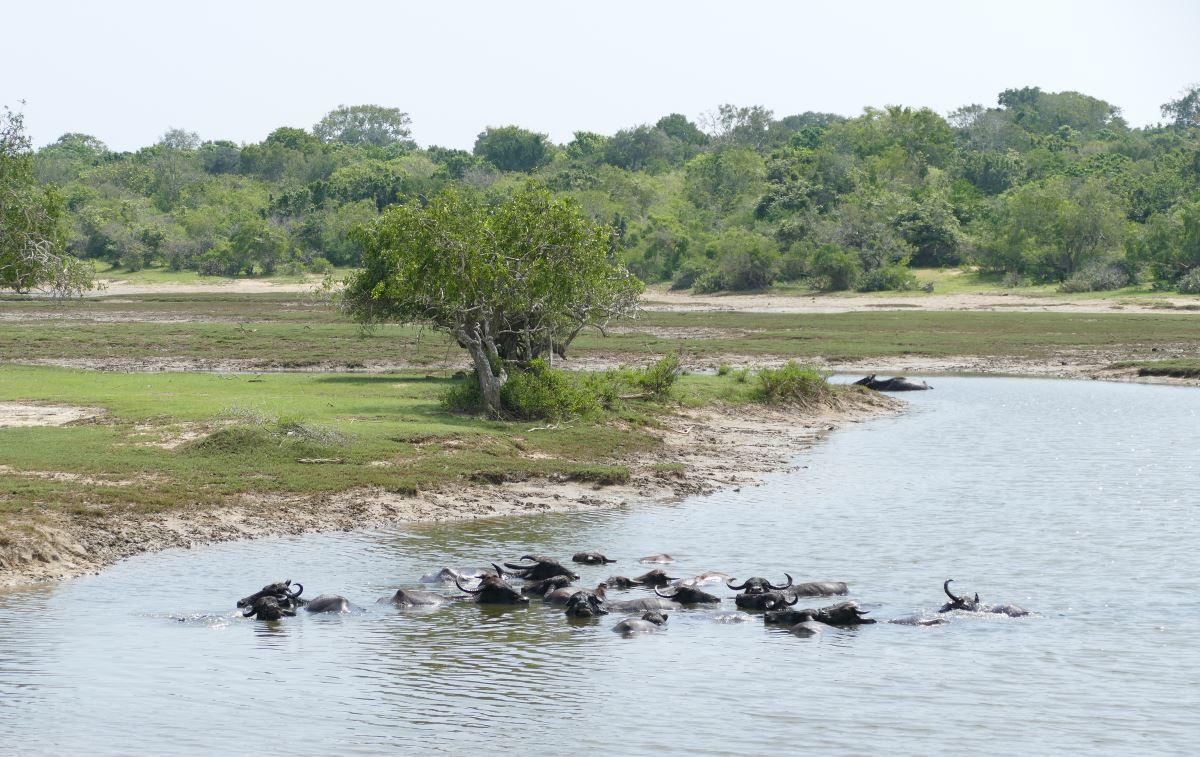 Sri Lanka-Yala-Büffel-1200