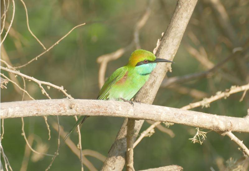 Sri Lanka-Yala-Eisvogel1-800