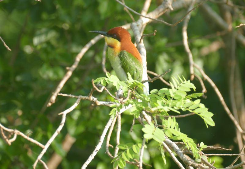 Sri Lanka-Yala-Eisvogel2-800
