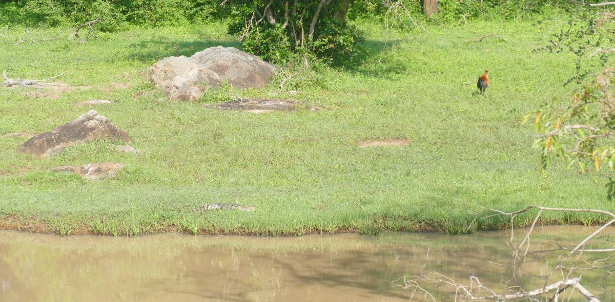 Sri Lanka-Yala-Krokodil-Hahn-1200