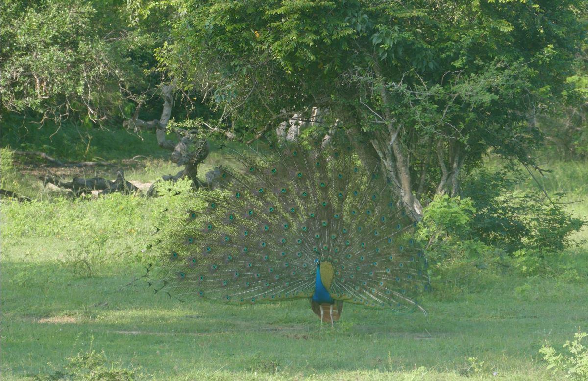 Sri Lanka-Yala-Pfau-Rad-1200