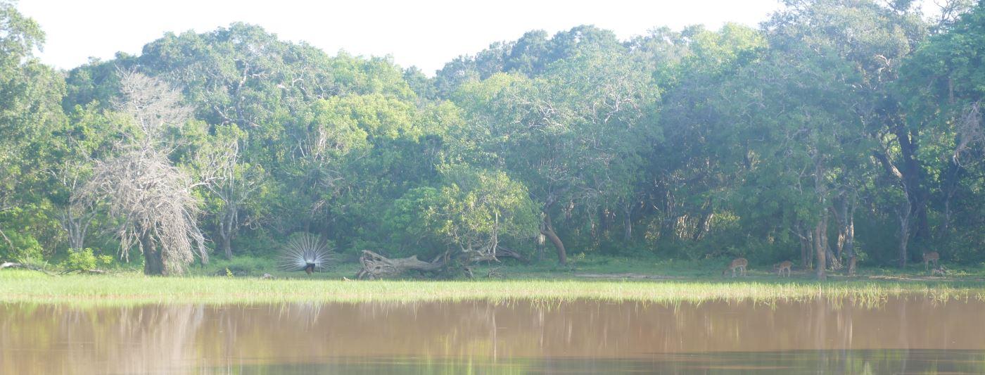 Sri Lanka-Yala-Pfau-Reh