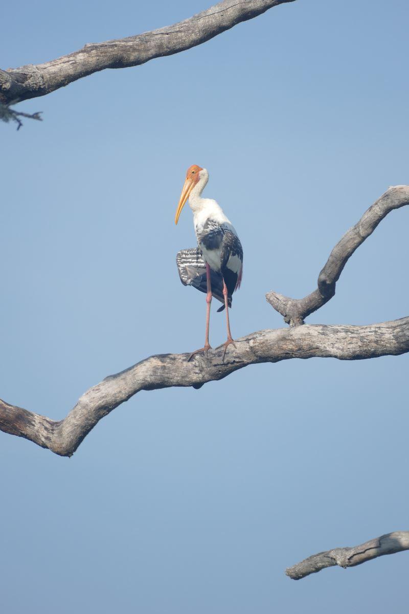 Sri Lanka-Yala-Storch-1200