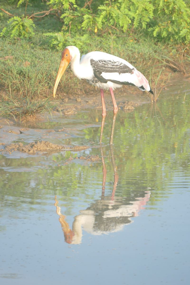 Sri Lanka-Yala-Storch-Spiegelung-1200